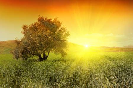 olivo arbol: Olivo en un campo verde durante el amanecer