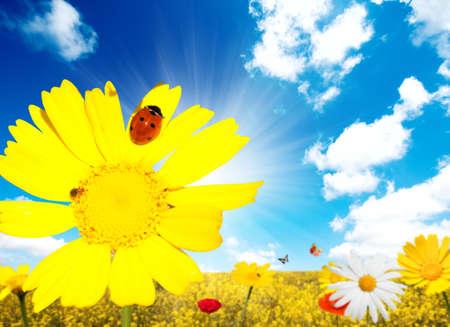 Daisy with ladybug against yellow landscape photo
