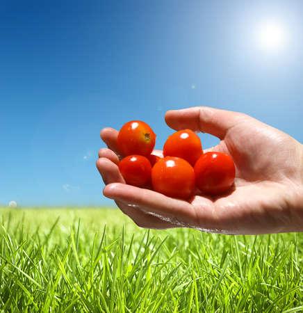 ruce drží rajčata, produkt přírody koncepce