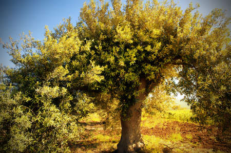 Olive tree with morning light photo