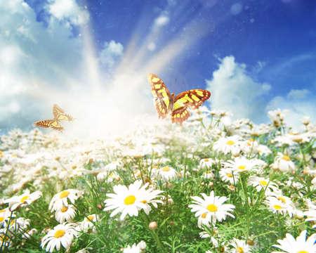 Sun flower: Grünes Feld mit Kamillenblüten und Schmetterlinge