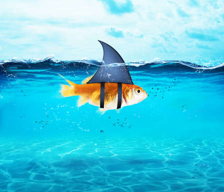 Goldfish acting as shark to terrorize the enemies. Concept of competition and bravery Фото со стока - 81480973