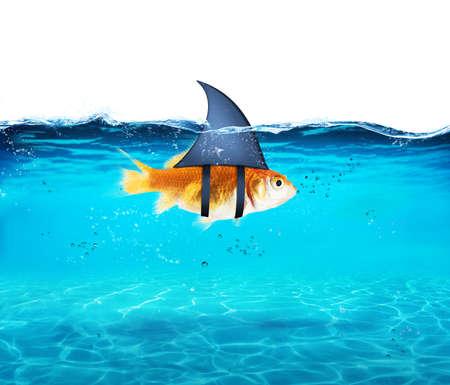 敵を恐怖に陥れるにサメとして金魚。競争と勇気のコンセプト 写真素材