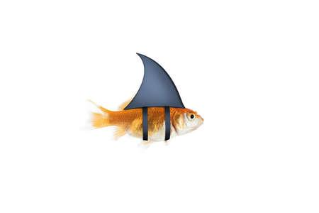 Goldfisch als Hai, um die Feinde zu terrorisieren. Konzept der Konkurrenz und Tapferkeit Standard-Bild - 81923952