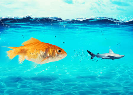 Big goldfish attacks a scared shark in the ocean. concept of bravery Stock Photo