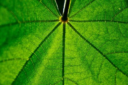 Green leaf vein against the sun with shallow depth of field Stock Photo
