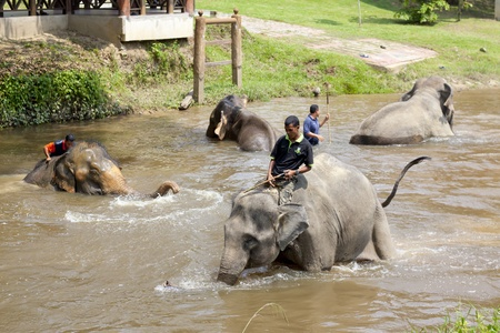KUALA GANDAH, MALAYSIA - SEPTEMBER 24: Staff of Kuala Gandah Elephant Conservation Centre taking the elephants for bath on SEP 24, 2011 in Kuala Gandah, Malaysia. The centre has been rescuing problematic elephants since 1989 Editorial