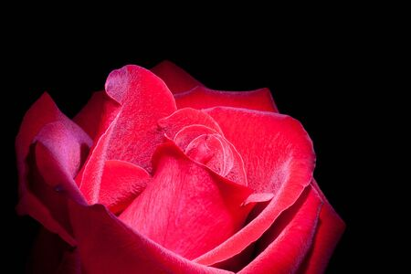 Close up of red rose isolated against dark background Stock Photo