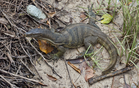Malaysian water monitor lizard  Varanus salvator   Large concentration of this monitor lizards occurs on Tioman Island in the Malaysian state of Pahang Stock Photo