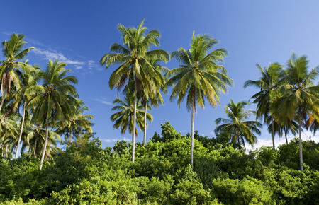 Coconut trees under the blue sky in Sematan Beach, Sarawak, Malaysia