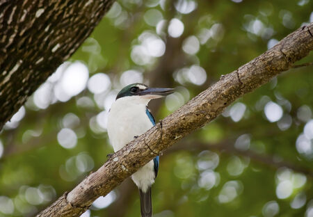 habitats: Collared Kingfishers  Todiramphus chloris   Spotted in Putrajaya, Malaysia  Natural habitats  Lowland area and mangrove forest