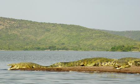 Crocodiles sunbathing at Lake Chamo, Ethiopia