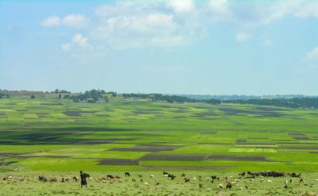 Rural Ethiopian scene, woman and livestock with green fields in the background Stock Photo