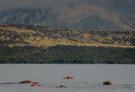 Hypos se baigner dans le lac Chamo, Ethiopie