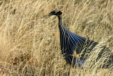 Vulturine Guinea fowl, (Acryllium vulturinum),  Samburu National Reserve, Kenya Stock Photo