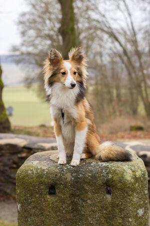 melancholijny: Melancholic and sad Shetland Sheepdog sits on a stone Zdjęcie Seryjne