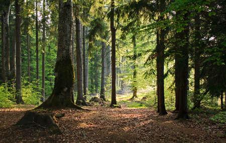 Pine forest in sunlight Standard-Bild