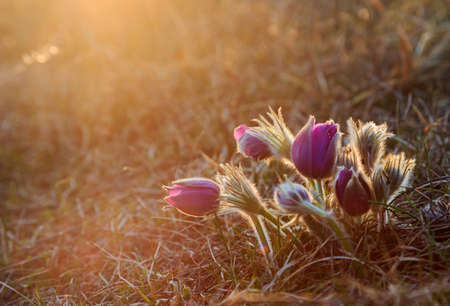 pasque: Blooming Pasque flower on spring meadow at the sunset