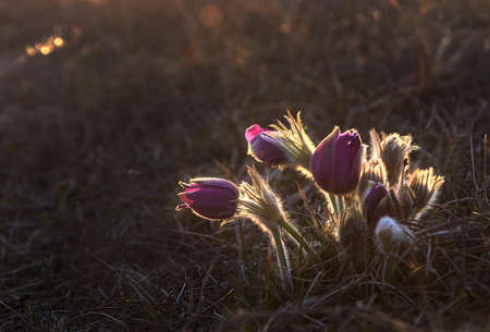pasque: Pasque Flower blooming on spring meadow at the sunset