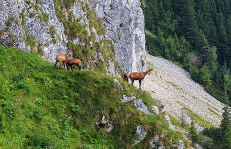 Chamois in the carpathian limestone mountain slopes Standard-Bild