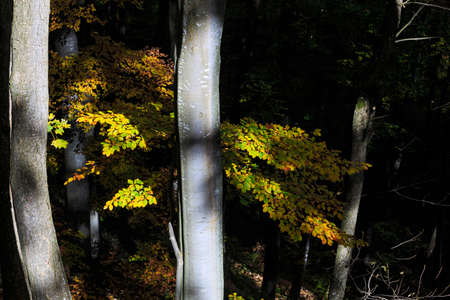 penetrating: Sun rays penetrating the forest, yellow leaves. Stock Photo