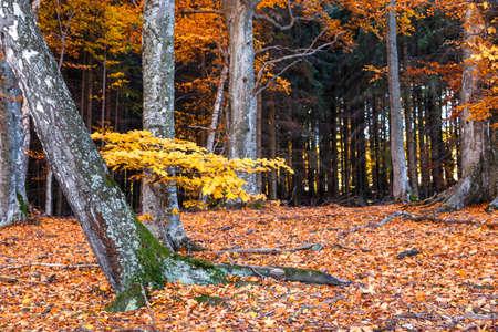 Transylvanian beech forest landscape in yellow autumn Standard-Bild