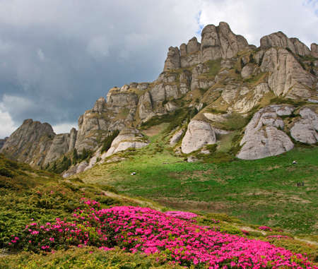 Wild alpine flowers in carpathian mountains Romania Stock Photo