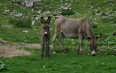 Young donkey on a mountain pasture Stock Photo