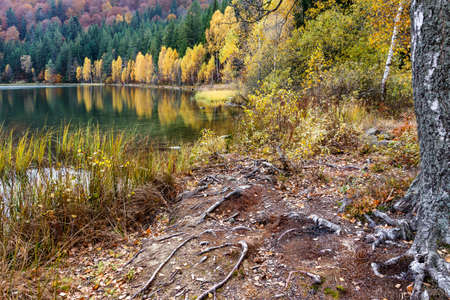 Yellow birch trees by the lake. Landscape with lake and forest from Transylvania, Romania