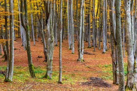 Colorful autumn in the beech forest in Transylvania, Romania Standard-Bild