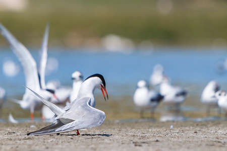 Common tern on land near water pond.