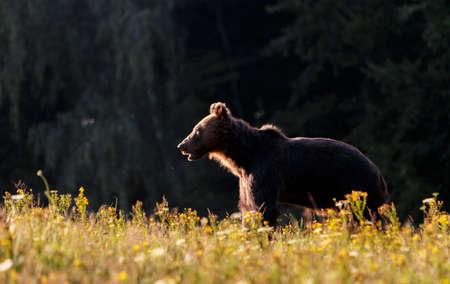 Carpathian brown bear in a forest meadow in summertime