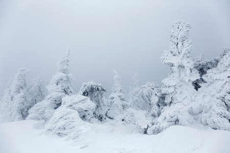 Misty frozen winter landscape with snow covered pine trees in the Carpathians, Transylvania, Romania, Europe Standard-Bild