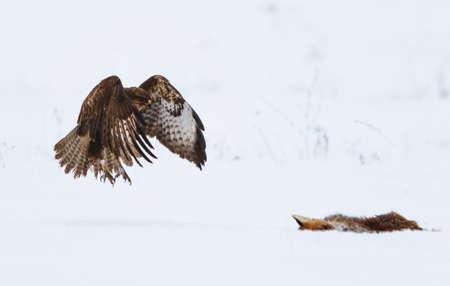Common buzzard in the snow with dead fox Standard-Bild