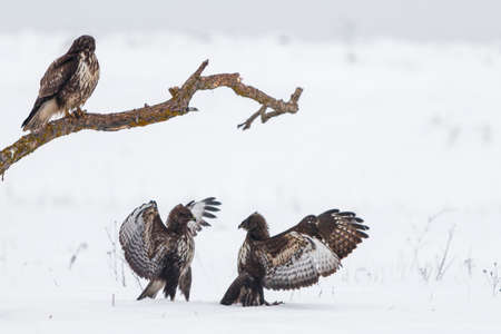 Buzzards standing on and fighting in snow covered field over prey in cold winter
