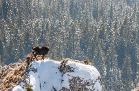 Alpine chamois standing on cliff in winter above forest