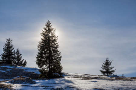 Tall pine tree alone on mountain slope on cold sunny day. Standard-Bild