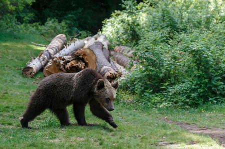 Carpathian brown bear in a forest meadow
