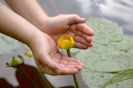 nymphaeaceae: Hands hold yellow nymphaeaceae