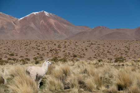 A lama by the pond on the Altiplano, Andes, Bolivia Imagens