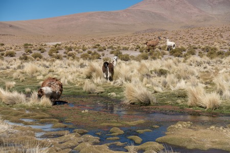 Herd of llamas by the pond on the Altiplano, Andes, Bolivia