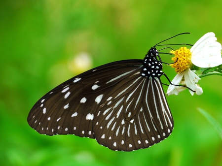 nit: butterfly forage in a flower