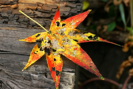 Colorful maple leave over wooden