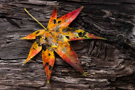 Maple leaf on rugged wooden. Stock Photo