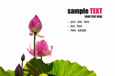 Lotus geïsoleerd op witte achtergrond Stockfoto