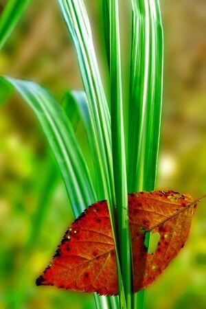 Fallen leaf on grass