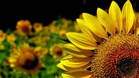 Golden plots of sunflowers on dark background. Stock Photo