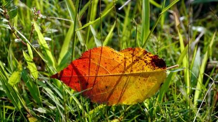 Fallen leaf on grass field under morning sunshine. Stock Photo