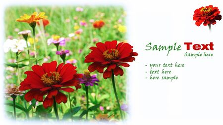 Red flowers(dahlia) on white background. With sample text. Stock Photo