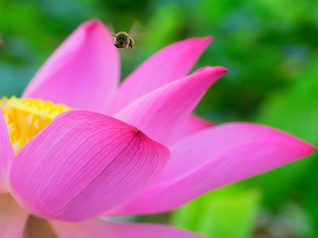 Close up of the flying bee on the lotus  Stock Photo